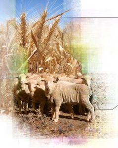 Sheep wheat
