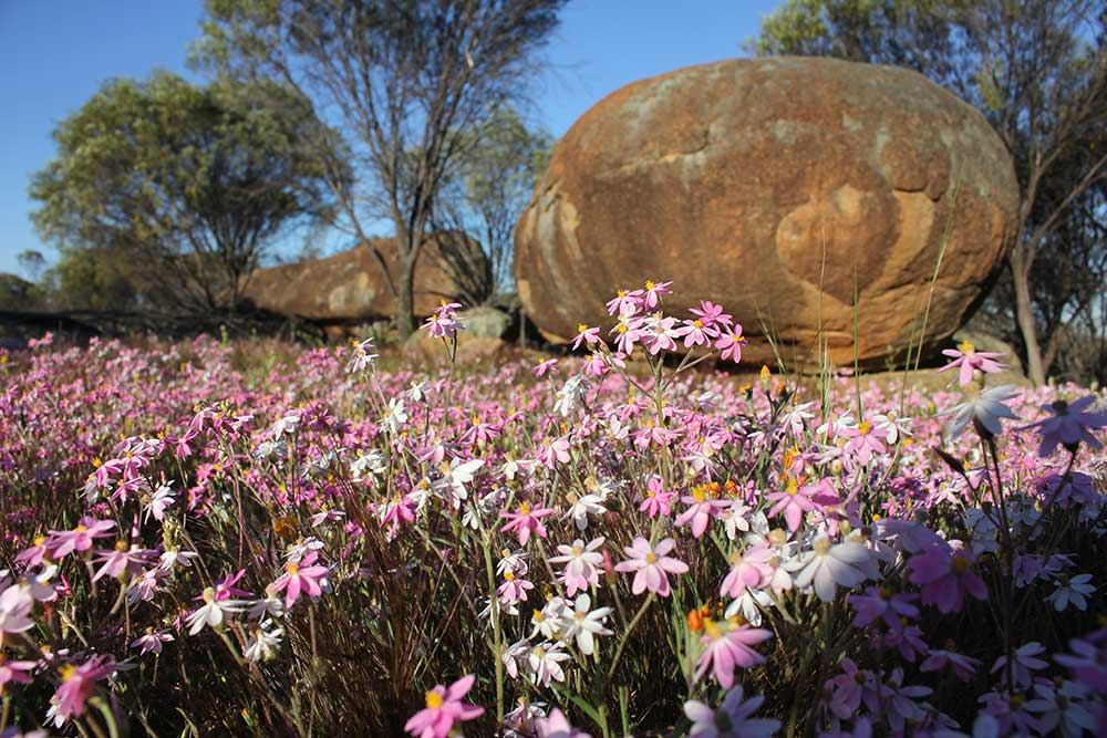 Wildflowers, trees and boulders at Datjoin in the central wheatbelt of Western Australia